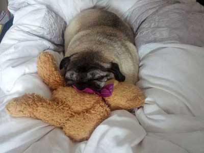 Arthur The Pug Asleep On A Bed