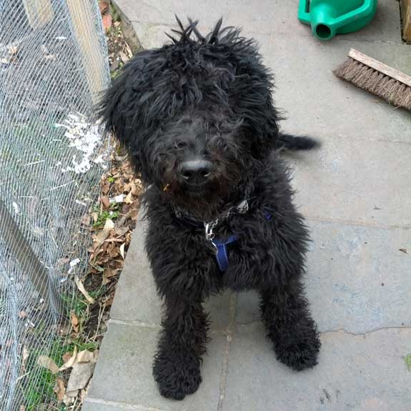 A Labradoodle dog sat down in a home in Knutsford