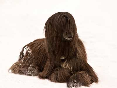 Afghan Hound In The Snow Image
