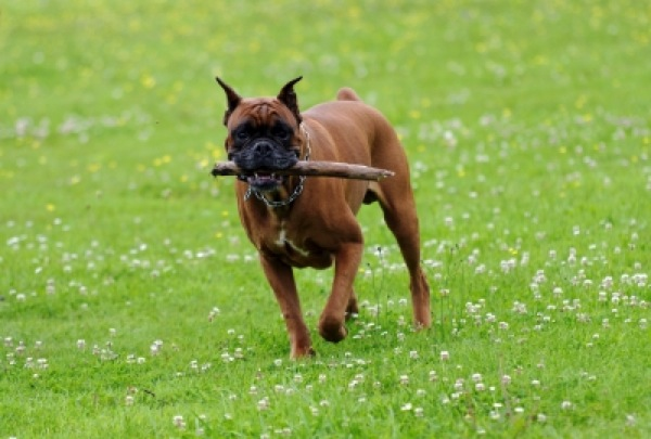 Stick Injuries In Dogs In Cheshire Image