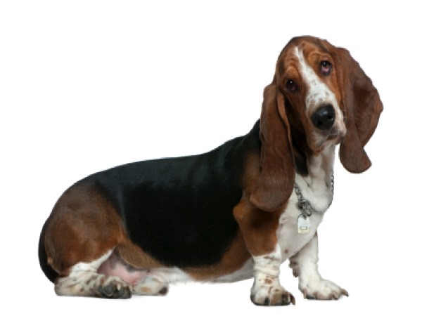 The A-Z Of Dog Breeds - The Basset Hound