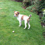 Home Dog Boarding In Wilmslow – Archie @ Brian & Sue's (13/10/15)