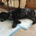 Home Dog Boarding In Wilmslow – Minnie @ Brian & Sue's (13/10/15)