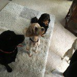 Home Dog Boarding in Wilmslow – Amber, Betty, Tora & Roxy @ Brian & Sue's (07/02/16)