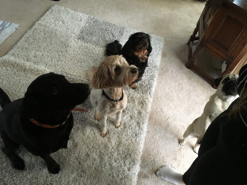 Home Dog Boarding Wilmslow - Amber, Betty, Tora & Roxy Pic