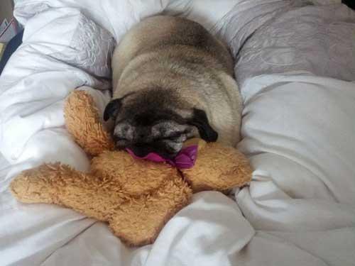 Arthur The Pug Asleep On A Bed