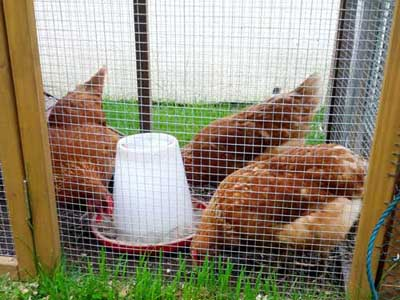 Chickens In A Chicken Coop In Hale