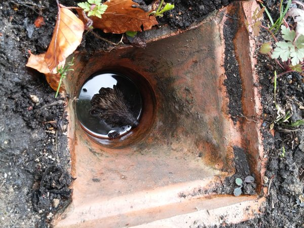 Harry The Hedgehog Stuck Down A Drain Pipe Image